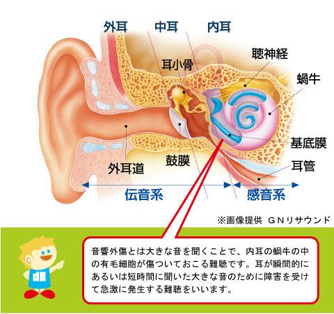 音響外傷と耳の構造